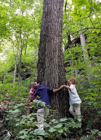 Large, old chestnut oak in a proposed woodland harvest unit