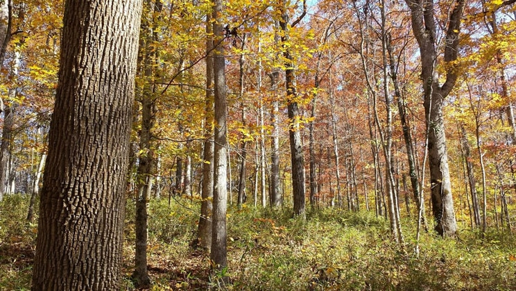 Beautiful mixed forest with sugar maple, white ash, beech, white oak, and hickories with a cane understory near the mouth of Beaver Creek. This area is proposed for harvest to create